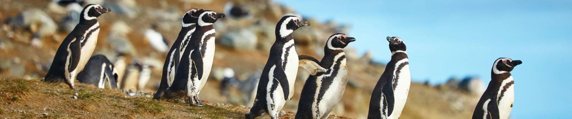 Manchots Magellans dans leur environnement naturel, Patagonie, Chili