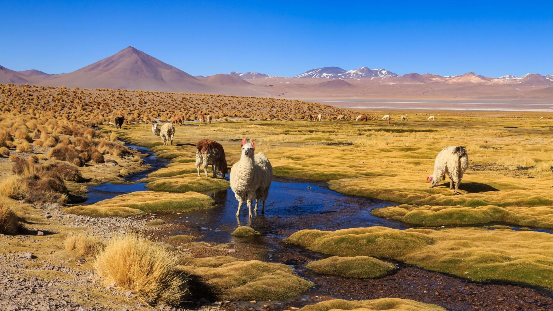 lama-altiplano