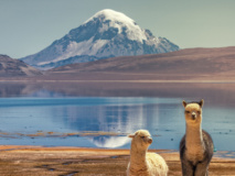 Alpagas, Parc national Lauca