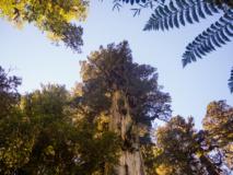Arbres, parc naturel de Pumalin